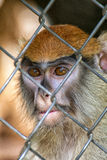 Primate Patas Monkey Face Stock Image