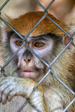 Primate Patas Monkey Face Royalty Free Stock Photo