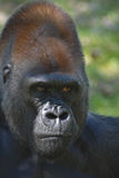 Primate Portrait Royalty Free Stock Images