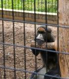 Primate que pone mala cara foto de archivo