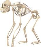 Primate skeleton. Scientific illustration of primate skeleton Royalty Free Stock Photos
