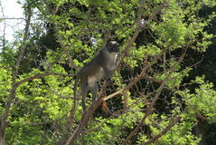 Primate in tree. Low angle view of primate in tree Stock Photography