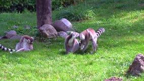 Primates de Madagascar del mono del lémur almacen de video