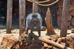 Primates, monkey, ape Royalty Free Stock Photo