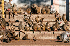 Primates. Several types of African primate Royalty Free Stock Image