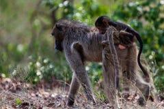 Primates of tanzania. Immature Vervet Monkey (Chlorocebus pygerythrus), eating. Image captured in The Ngorongoro Crater, Tanzania, Africa royalty free stock image