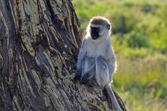 Primates of tanzania royalty free stock image