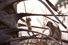 Primates of tanzania. Immature Vervet Monkey (Chlorocebus pygerythrus), eating. Image captured in The Ngorongoro Crater, Tanzania, Africa royalty free stock images