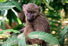 Primates of tanzania royalty free stock photo