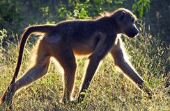 Primates of tanzania stock photo