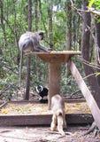 Primati a Monkeyland sull'itinerario del giardino, Sudafrica immagine stock
