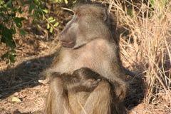 Primati sudafricani immagine stock
