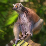 Primati verdi Sun delle lemure catta che si siedono fra gli alberi fotografia stock libera da diritti