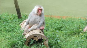 Primati in zoo Fotografie Stock Libere da Diritti