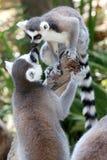 Primats de lémur saluant image stock
