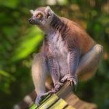 primats qui aime le soleil Anneau-coupés la queue de lémur s'asseyant parmi des arbres photographie stock libre de droits