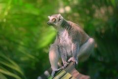 primats qui aime le soleil Anneau-coupés la queue de lémur s'asseyant parmi des arbres image stock