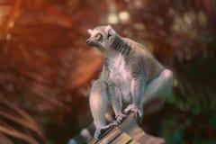 primats qui aime le soleil Anneau-coupés la queue de lémur s'asseyant parmi des arbres photo stock