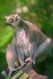 primats qui aime le soleil Anneau-coupés la queue de lémur s'asseyant parmi des arbres images libres de droits