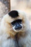 Primatte黄色cheeked长臂猿Nomascus gabriellae 库存照片