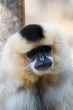 Primatte Yellow-cheeked gibbon Nomascus gabriellae. Close up portrait Stock Photo