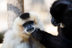 Primatte Yellow-cheeked gibbon Nomascus gabriellae. Close up portrait Stock Photography