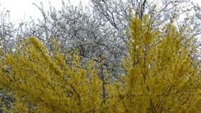 Primavera Árboles blancos y amarillos almacen de metraje de vídeo