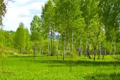Primavera. Árboles de abedul jovenes en verdes frescos Fotografía de archivo libre de regalías