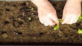 Primavera, è tempo di trapiantare le piccole piantine del basilico in un più grande vaso video d archivio