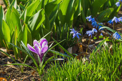 primavera: Açafrão violeta no canteiro de flores Fotografia de Stock Royalty Free
