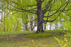 Primavera. Abedul viejo cubierto con las hojas jovenes Foto de archivo libre de regalías