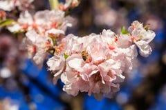 primavera Abeja de la miel que recolecta el polen Fotografía de archivo libre de regalías