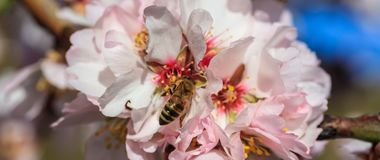 primavera Abeja de la miel que recolecta el polen de la almendra Fotografía de archivo libre de regalías