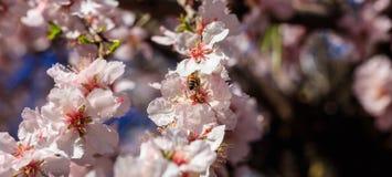 primavera Abeja de la miel que recolecta el polen del árbol de almendra Imágenes de archivo libres de regalías