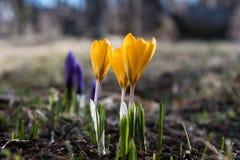 primavera adiantada com açafrão da flor Imagem de Stock