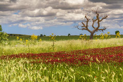 primavera Alta Murgia National Park: campo de flores púrpuras APULIA-ITALIA Fotografía de archivo
