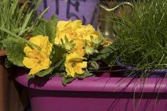 Primavera amarilla en un pote púrpura contra un fondo de la hierba verde como adorno de una entrada a una floristería Fotos de archivo