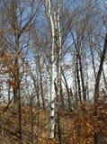 Primavera in anticipo dell'albero di betulla bianca Immagini Stock