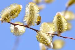 Primavera. Ascendente cercano floreciente del sauce Fotografía de archivo