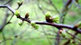 In primavera avanti i suoi germogli sugli alberi stock footage