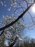 Primavera benvenuta, odorare del fiore fotografia stock libera da diritti