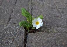 Primavera blanca de la flor de la primavera Foto de archivo libre de regalías