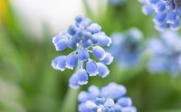 Primavera blu della natura del primo piano dei fiori della molla dei giacinti immagini stock libere da diritti