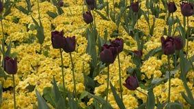 Primavera Brotes negros entre las flores amarillas metrajes