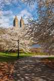 Primavera in Central Park con Yoshino Cherry Trees, New York Fotografia Stock Libera da Diritti