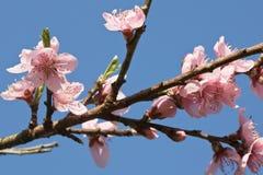 Primavera cercana para arriba de la flor floreciente rosada hermosa del árbol de nectarina con los pétalos Foto de archivo