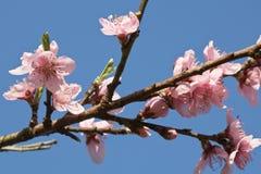 Primavera cercana para arriba de la flor floreciente rosada hermosa del árbol de nectarina con los pétalos Fotos de archivo libres de regalías