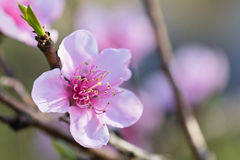Primavera cercana para arriba de la flor floreciente rosada hermosa del árbol de nectarina con los pétalos y el vástago verde Imagenes de archivo