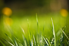 Primavera cercana para arriba de pasto del prado de la hierba verde con los dientes de león amarillos florecientes en fondo Imagen de archivo