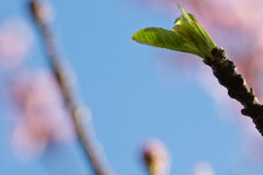 Primavera cercana para arriba de vástago hermoso del verde del árbol de nectarina en cielo azul Imagen de archivo libre de regalías